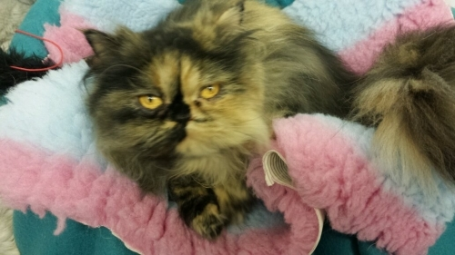 Cuddled up in a big Fluffy bed for Rihanna at Chaiquinta Cattery Doncaster