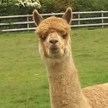 Alpaca Yarn Suppliers UK