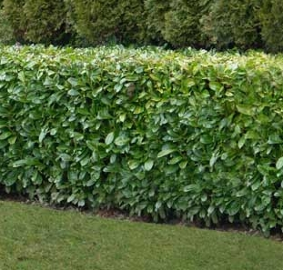 All types of bare root hedge plants