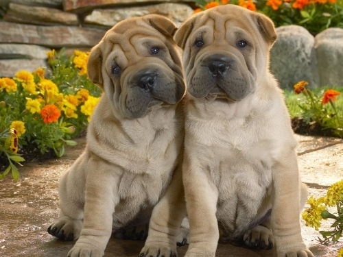 Shar Pei Dog Puppies some of our harder challenges with botox