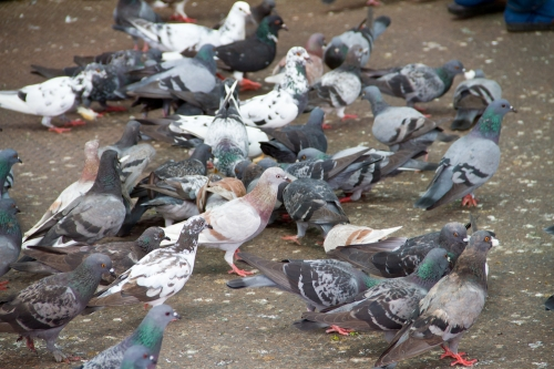 Commercial Bird & Pest Control