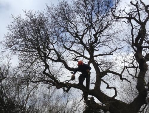 Crown Reduction - Oak