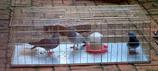 Feral Pigeons - Environmental Health Pest