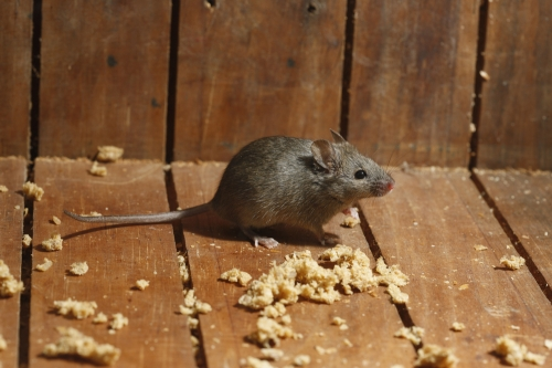 Rodent Control and Management