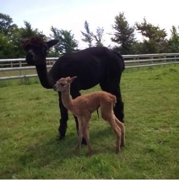 Precious Gem Alpacas | Suppliers of pure Alpaca wool and yarn