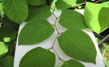 Japanese Knotweed Treatment and Removal in the West Midlands, Warwickshire and Worcestershire