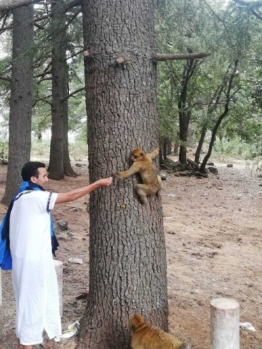 Azrou Monkeys