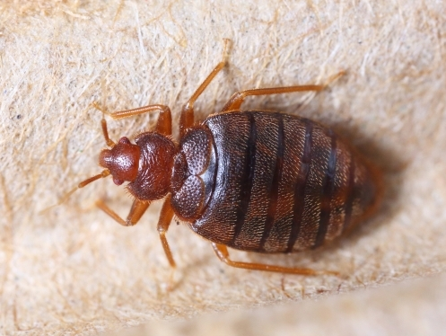 Bed bug Control Hampshire and Dorset