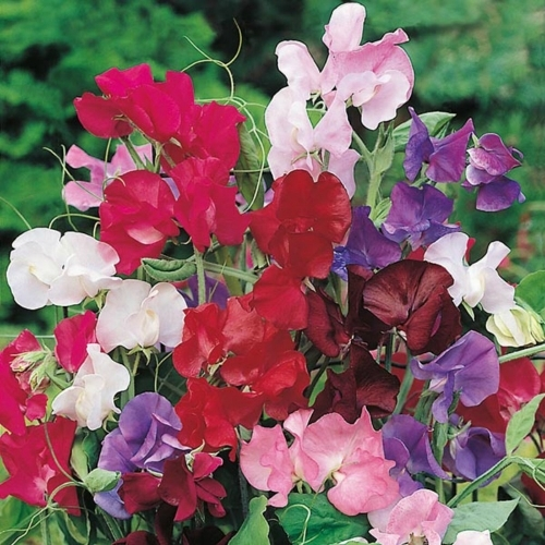 Sweet Pea Bouquet Mixed - £2.09