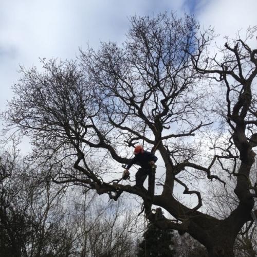 Crown Reduction Oak